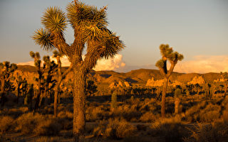 加利福尼亚州东南部约书亚树国家公园(Joshua Tree National Park),这里是独特的约书亚树的主要栖息地。(戴兵/大纪元)