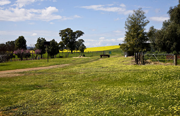 澳大利亚的农场里种植了大片的油菜(伊罗逊/大纪元)