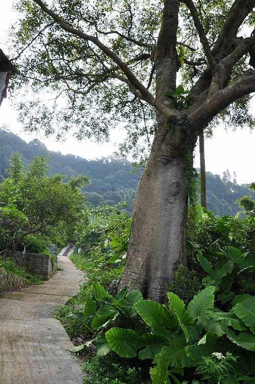 树干巨粗的老朴树。 (图片提供:tony)