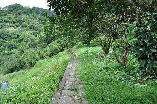 平溪步道途中的柚子树及梯田农圃(图片提供:tony)