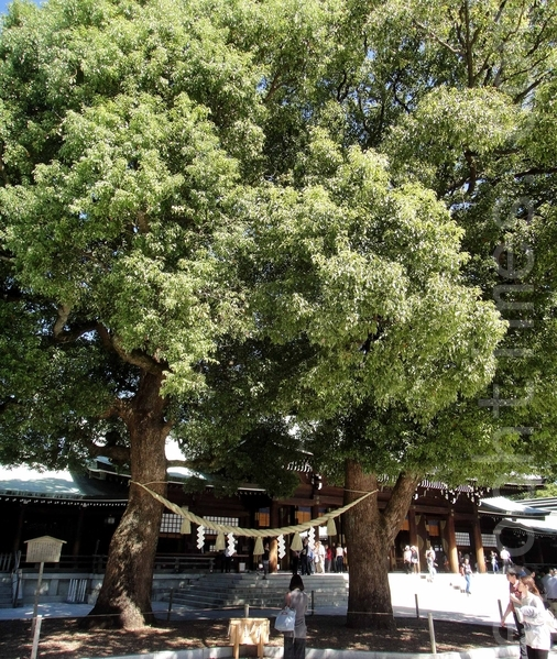 明治神宫内的夫妻树全景。(蓝海/大纪元)