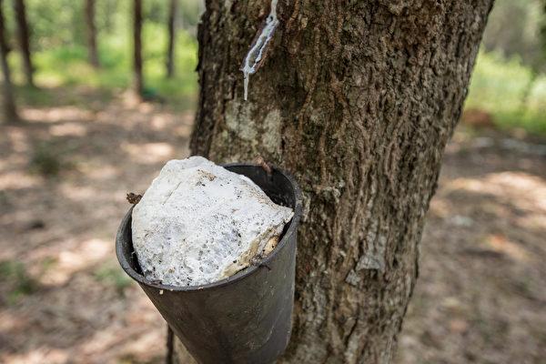龍得堡床墊的乳膠來自馬來西亞契作的橡膠園。(圖:李佳竛SamLee提供)