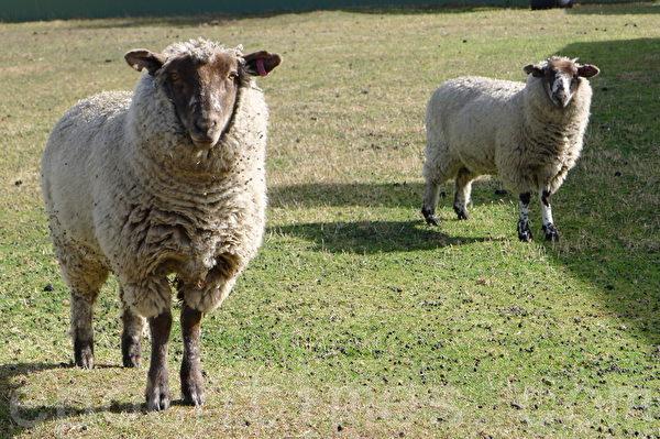 阿沃卡村欢迎游客的可爱绵羊。(华苜/大纪元)