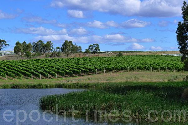 绿色葡萄园给原野增添了不少生机,是一幅迷人的自然风光画面。(华苜/ 大纪元)