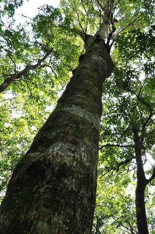 大树长得又高又直。 (图片提供:tony)
