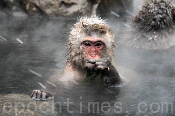这只小猕猴好像是在说非礼勿言。(孙明国/大纪元)