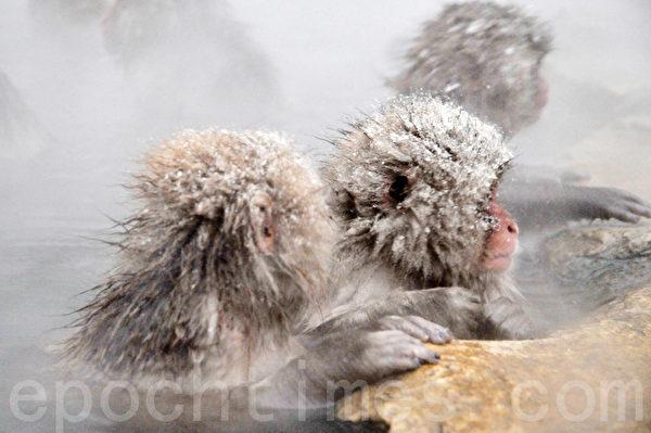 猕猴喜欢趴在温泉边缘闭目养神。(孙明国/大纪元)