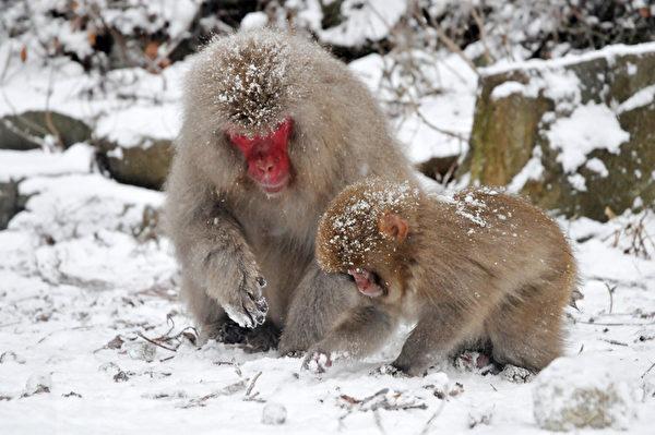 看到猴妈妈领着小猴在雪中寻找食物的情景,让人觉得很温馨。(孙明国/大纪元)