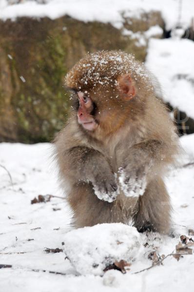 顽皮的小猴偶尔也会脱离妈妈的怀抱,自己在雪堆里乱串。(孙明国/大纪元)
