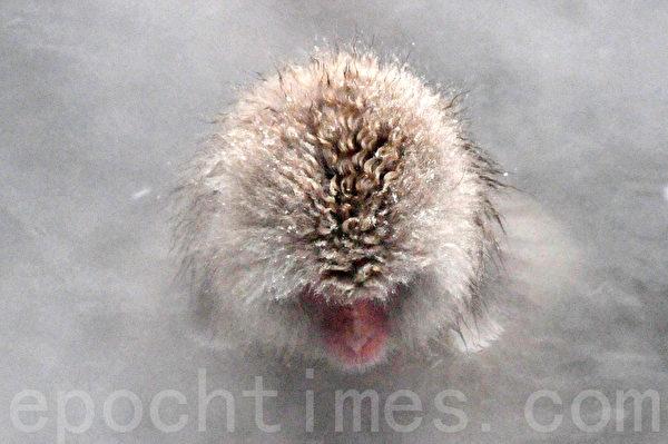 低着头,露出毛茸茸的头,这只雪猴正准备把头埋进水里。(孙明国/大纪元)