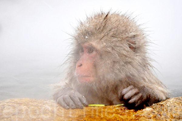 小猕猴红彤彤的小脸蛋,在冒着蒸汽的温泉里,很可爱。(孙明国/大纪元)