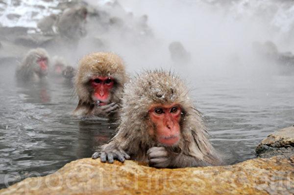 几十只猕猴泡在冒着蒸汽的温泉里,一脸享受的模样。(孙明国/大纪元)