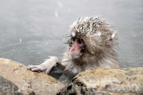 小雪猴小小就懂得泡在温泉水中享受,怎能不让人羡慕。(孙明国/大纪元)