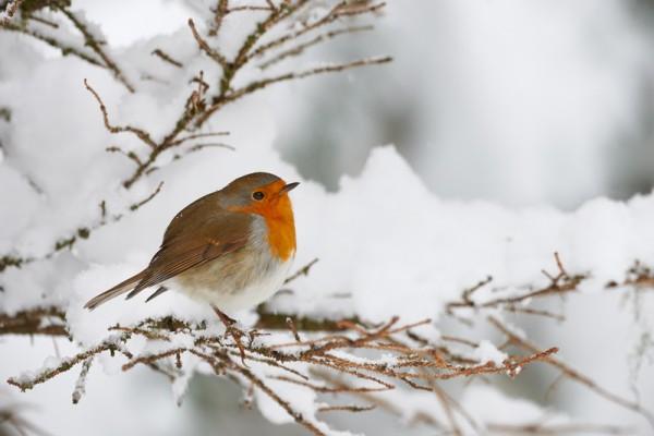 小鸟颤抖在雪地里,栖息在一个小分支(fotolia)