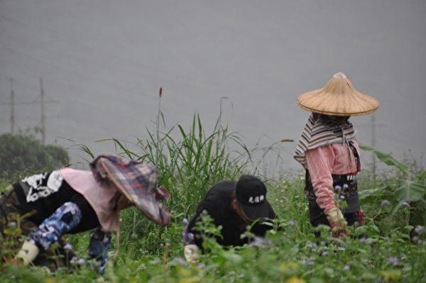 位于花莲县寿丰乡的青鸟生态有机农场,正在采收第一期的有机红豆。(詹亦菱/大纪元)