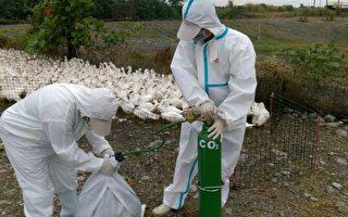 屏东县长治乡1肉鸭场感染新型H5N8高病原性禽流感病毒,屏东家畜疾病防治所10日扑杀8881只土番鸭。(屏东县政府提供)