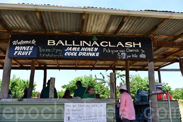 Ballinaclash樱桃园对外开放,游客可以到园中自己摘取樱桃。(简玬/大纪元)