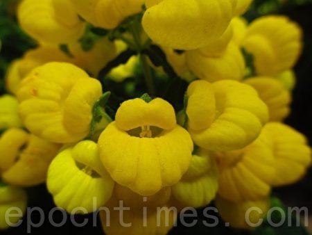 这花儿上下两片花瓣形似微启的嘴巴,听听花语…神妙无比!(容乃加/大纪元)