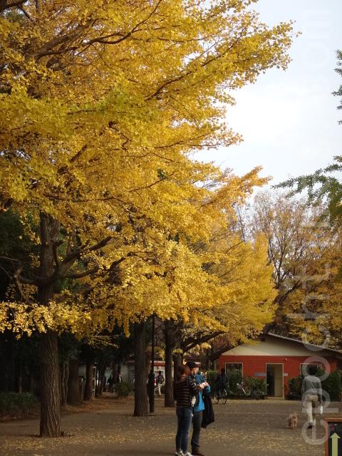 银杏(容乃加/大纪元)