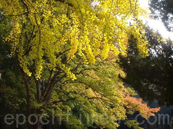 银杏树拥有神奇生命力