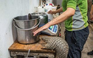 臺北市立動物園12月16日表示,園內的穿山甲「芎梧」是全球第一隻人工照養成功的穿山甲。(臺北市立動物園提供)