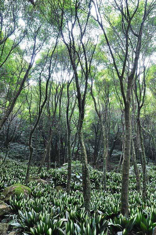 青枫林地面种植叶斑植物(可能是班叶蜘蛛抱蛋)。(图片提供:tony)