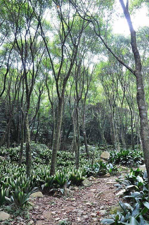 整片树林以青枫及叶斑植物为主。(图片提供:tony)
