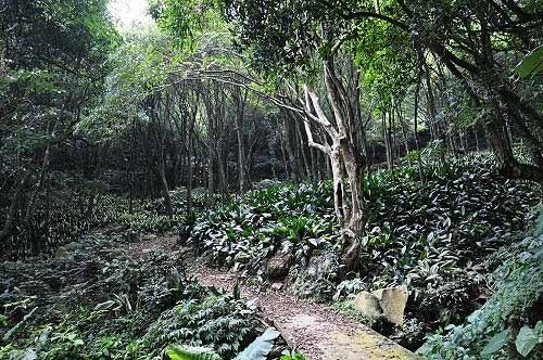 青枫步道之青枫树林。(图片提供:tony)