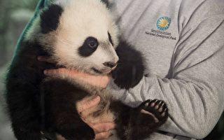 """2015年12月16日,四个月大的熊猫""""贝贝""""在华盛顿DC的国家动物园,与媒体首次见面。(SAUL LOEB/AFP/Getty Images)"""