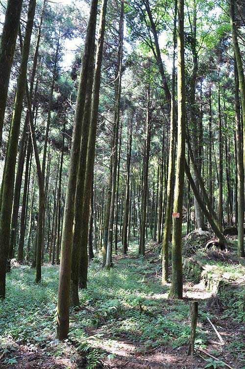 抵达一片造林地,整齐成行的杉林。 (图片提供:tony)