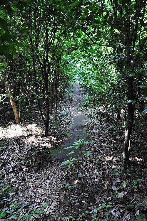 经过一片茶花林。 (图片提供:tony)