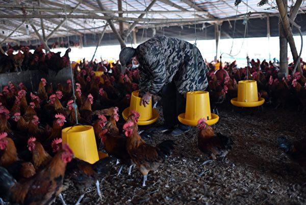 科學家從中國大陸南方出售的雞肉和生豬身上都發現了耐受最後一線抗生素的無敵病菌。圖為中國的養殖場。(STR/AFP/Getty Images)