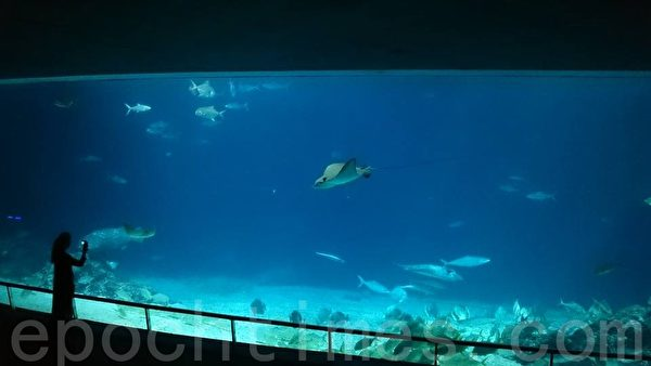 """台湾水域馆,""""大洋池""""水量达一百万加仑,展示鲨鱼、𫚉鱼、石斑等数十种大型鱼类。(方金媛/大纪元)"""