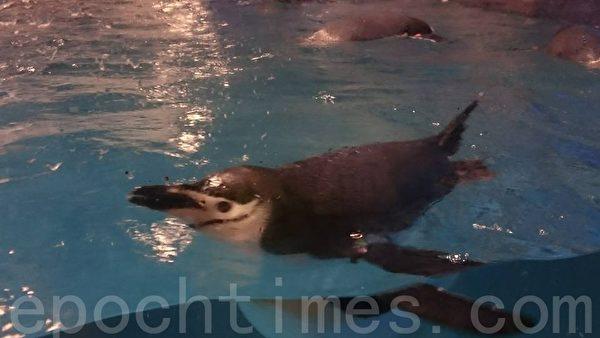 在世界水域馆可与企鹅近距离接触,一窥他们可爱的模样。(方金媛/大纪元)