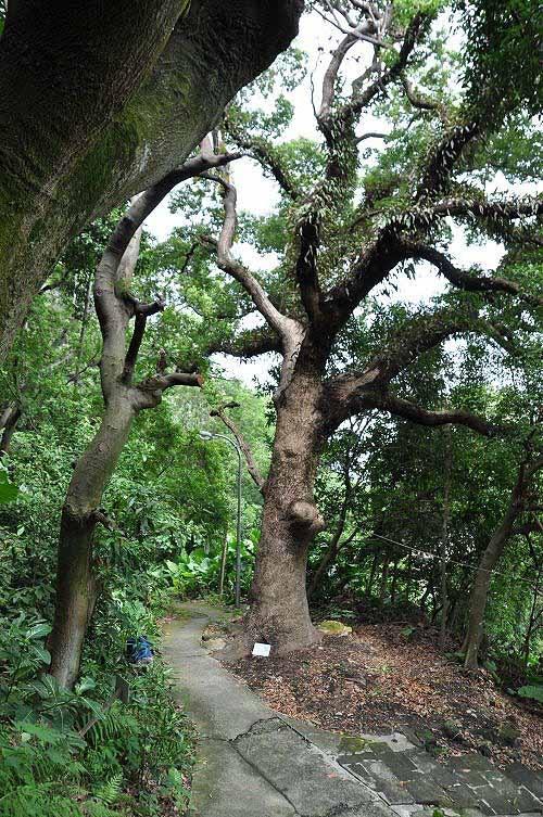 回程顺访圆通寺环山步道(一线天步道),沿途有老樟树及巨岩。 (图片提供:tony)