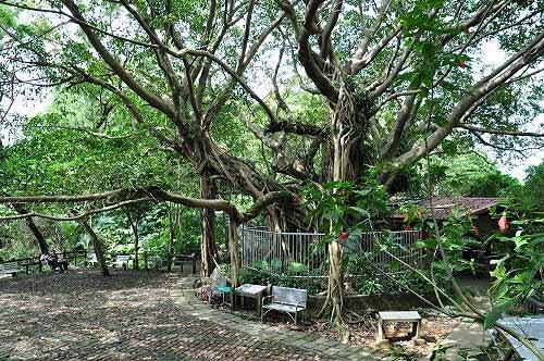 榕园。雀榕老树,据说树龄已有三百多岁。树旁有一小土地公庙(图片提供:tony)
