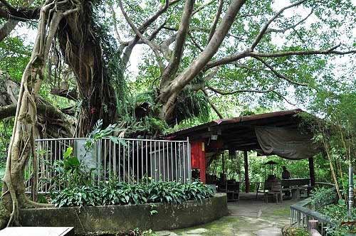 榕园雀榕老树。(图片提供:tony)