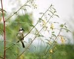 台湾古典诗:白头翁