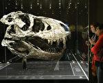霸王龍頭骨,由於太重,骨架必須分開展示。此骨架是2012年於蒙大拿州出土,是迄今發現的保存最完好的大型恐龍骨骼。年代估計約有66億年的歷史。 (Sean Gallup/Getty Images)