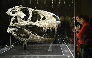 霸王龙头骨,由于太重,骨架必须分开展示。此骨架是2012年于蒙大拿州出土,是迄今发现的保存最完好的大型恐龙骨骼。年代估计约有66亿年的历史。 (Sean Gallup/Getty Images)
