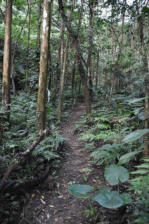 步道沿溪岸而行,沿途有杉林及竹林。 (图片提供:tony)