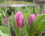 原本预计今年2月初才能看到郁金香美景,由于气候自然因素,部分早生种郁金香已经含苞待放,欢迎市民来嘉义公园感受早春的喜悦。(嘉义市政府提供)