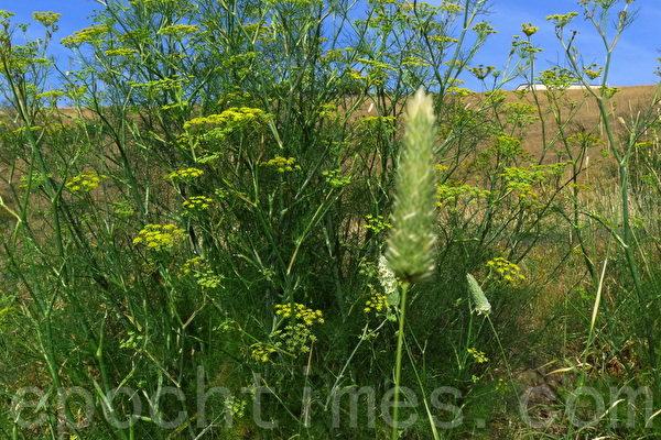路邊的野生植物。(華苜/大紀元)