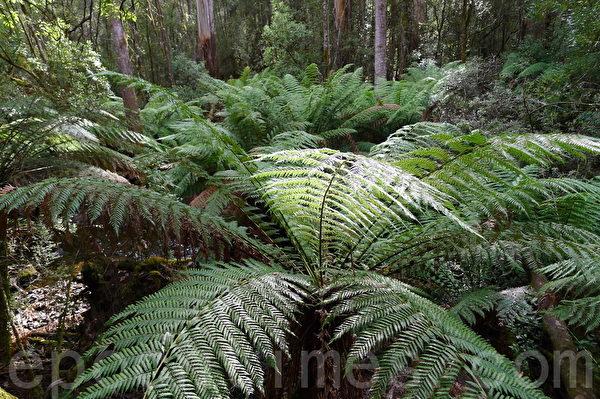 菲爾德山裡的溫帶雨林植物。(華苜/大紀元)