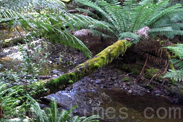 菲爾德山裡的溫帶雨林樹木橫在小溪上。(華苜/大紀元)