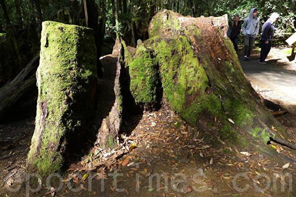 菲爾德山裡的老樹根,依然茂盛。(華苜/大紀元)