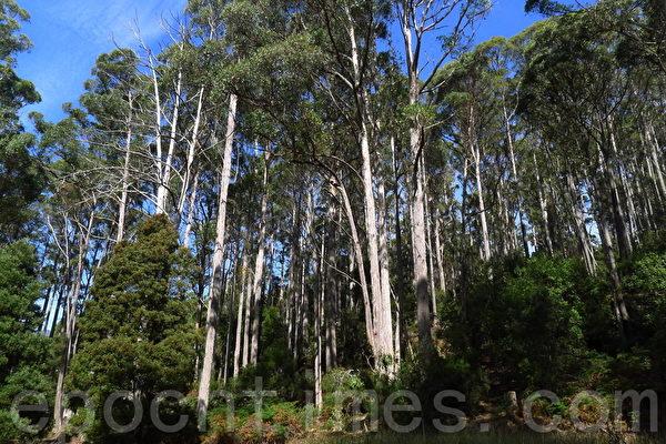 菲爾德山裡的桉樹林(華苜/大紀元)