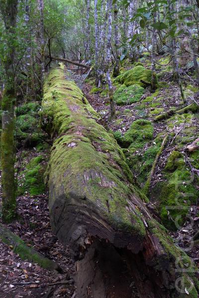 菲爾德山裡的老樹,仍然倒了卻還有生命力。(華苜/大紀元)