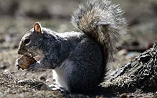 紐約市炮台公園的松鼠。(STAN HONDA/AFP/Getty Images)