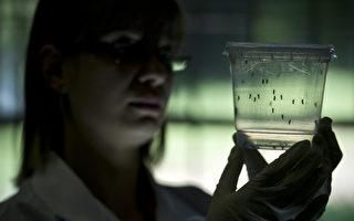 茲卡病毒  症狀與感染都像登革熱